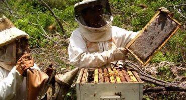 Alerta en varios estados del país por desaparición de abejas