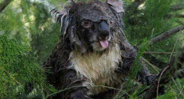 EL Koala que hace berrinche por ser rescatado