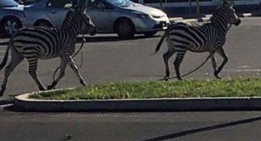 ¡LOL! Unas Zebras andaban corriendo sueltas en Philadelphia