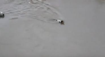 Observen a este perro salvar a sus crías de ahogarse e intenten no llorar