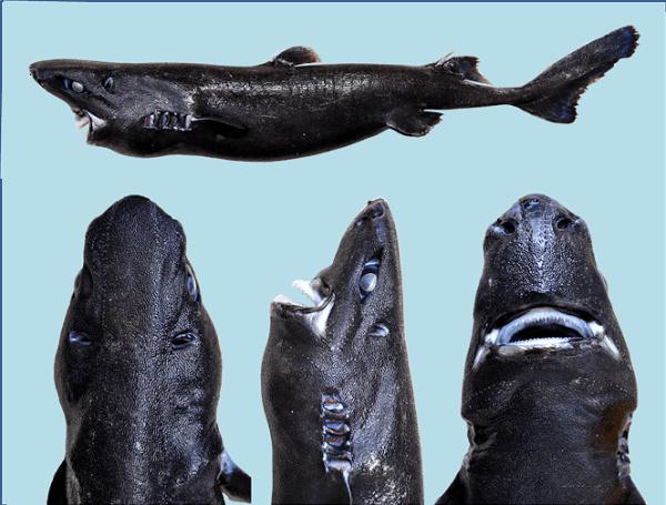 Esta nueva especie de Tiburón nadará directo a sus pesadillas
