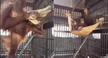 Nemo, la orangután que sorprendió a todos por hacer una hamaca por sí sola