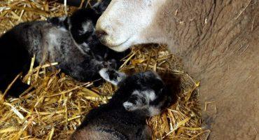 Milagro Navideño: ¡Oveja virgen da luz a gemelos!