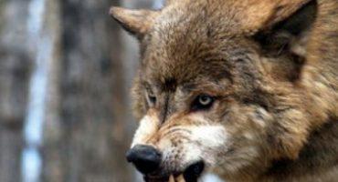 Les enseñamos 6 pasos para sobrevivir un ataque por lobos probados por un experto