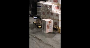 Este mapache ebrio demuestra que los animales no son tan diferentes a nosotros