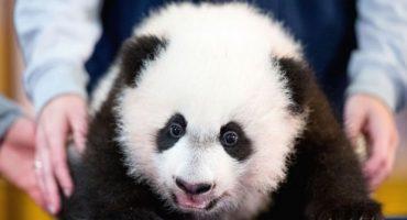 Presentan oficialmente a 'Bei Bei', el nuevo panda bebé del zoológico de Washington