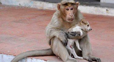 ¡Awww!, este mono adoptó a un perrito y lo cuida como si fuera su hijo