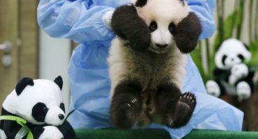 Abrazar bebés panda debe ser el mejor trabajo del mundo y además bien pagado