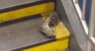 Ratas que cargan pizza es del 2015; lo de hoy son ratas que cargan... ¿ratas?