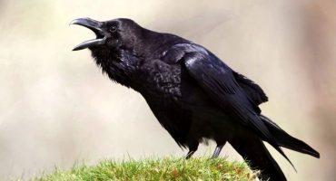 Foto de un cuervo con un cuchillo causa terror en internet