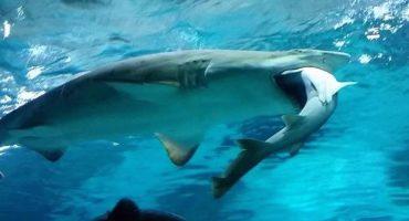 Mágico Mundo Animal: El tiburón caníbal