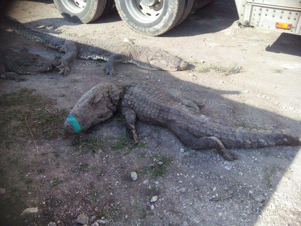 Mueren 124 cocodrilos en Quintana Roo por