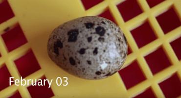 Compró huevos en el súper, los incubó y esto pasó...