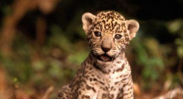 Nos derretimos de tanta ternura, nace cría de Jaguar en Sonora y nos piden nombrarla