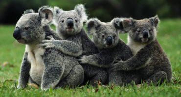 Para salvar a los Koalas de la extinción se deberá matar a la mitad de ellos… ¿qué?