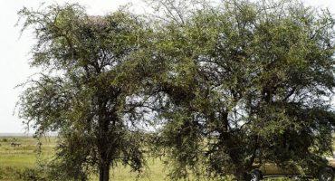 ¿Puedes encontrar al leopardo en este árbol?