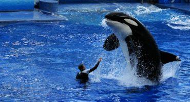 SeaWorld anuncia que dejará de criar orcas en sus parques