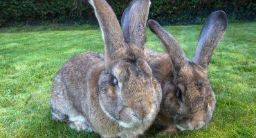 Conozcan Darius, el conejo más grande del mundo