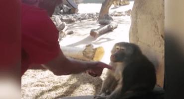¡Magazo! La gran reacción de un mono al presenciar un truco de magia