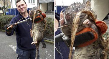 Exterminador encuentra una mega rata en un parque de Londres