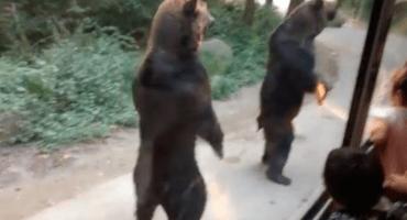 Dos osos que parecen salidos de la caricatura de Yogi