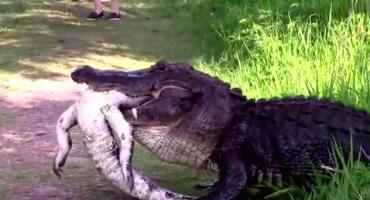 Con ustedes, el cocodrilo caníbal