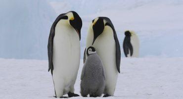 La ciencia necesita su ayuda… para ver imágenes de pingüinos
