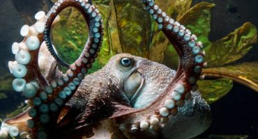 Inky, el pulpo que logró escapar del acuario hacia la libertad del mar