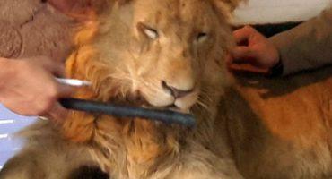 Denuncian a un safari porque habrían drogado a un león para sacarle fotos con turistas