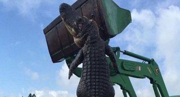 Y en la imagen del día: El caimán gigante que atraparon en Florida