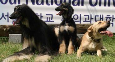Hace 11 años nació Snuppy, el primer perro clonado