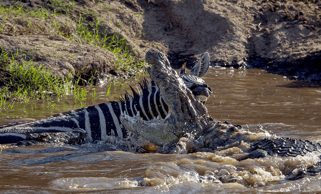 Una zebra ataca a mordidas a un cocodrilo para poder escapar