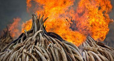 Kenia quema el decomiso de marfil más grande en su historia