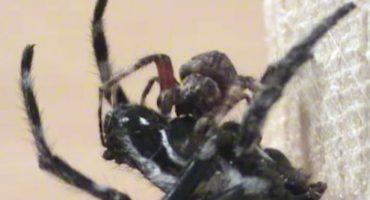 Mágico Mundo Animal: Arañas que dan sexo oral a sus parejas
