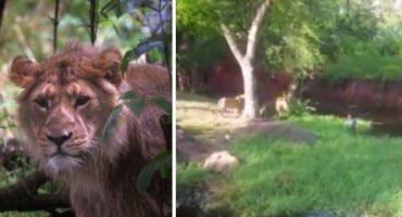 """Borracho en un zoológico entró al área de los leones para """"darles la mano"""""""