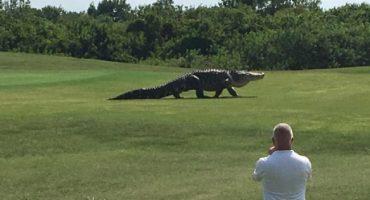 ¡Todos tiemblen ante el enorme cocodrilo que se pasea por un campo de golf!