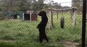 La triste historia detrás de los osos que caminan como humanos