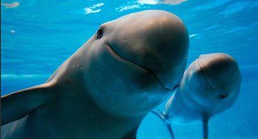 Muere vaquita marina rescatada; especialistas piden detener plan de captura