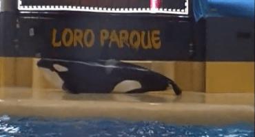 Un video que muestra el aparente intento de suicidio de una orca