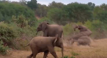 El vergonzoso fail que sufre un elefante que intenta aparearse