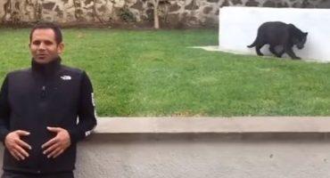 Video: Una pantera se lanza hacia un hombre sin ninguna protección y luego…
