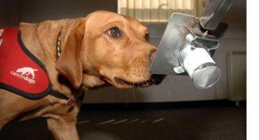 Ya sabemos cómo los perros detectan la baja de azúcar en los diabéticos
