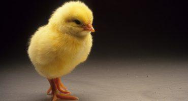 ¡Estudiantes japonesas logran el nacimiento de un pollito fuera del huevo!
