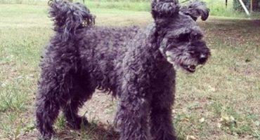 Pumi: La nueva raza de perro ha llegado a este mundo