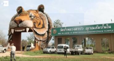 Encuentran 40 crías de tigre muertas en un templo tailandés