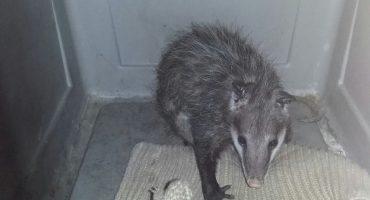 Cuca, la zarigüeya del Metro, regresó a su hábitat natural junto con sus crios