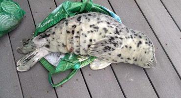 Cría de foca muere después de ser