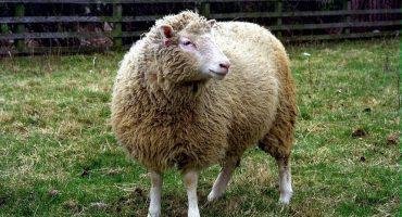 Los clones de la oveja Dolly 8 años después