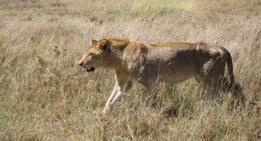 Mira como un león le quita un dardo tranquilizante a su pareja