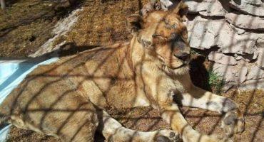 Una leona murió en el zoológico de Capultepec, tenía un tumor